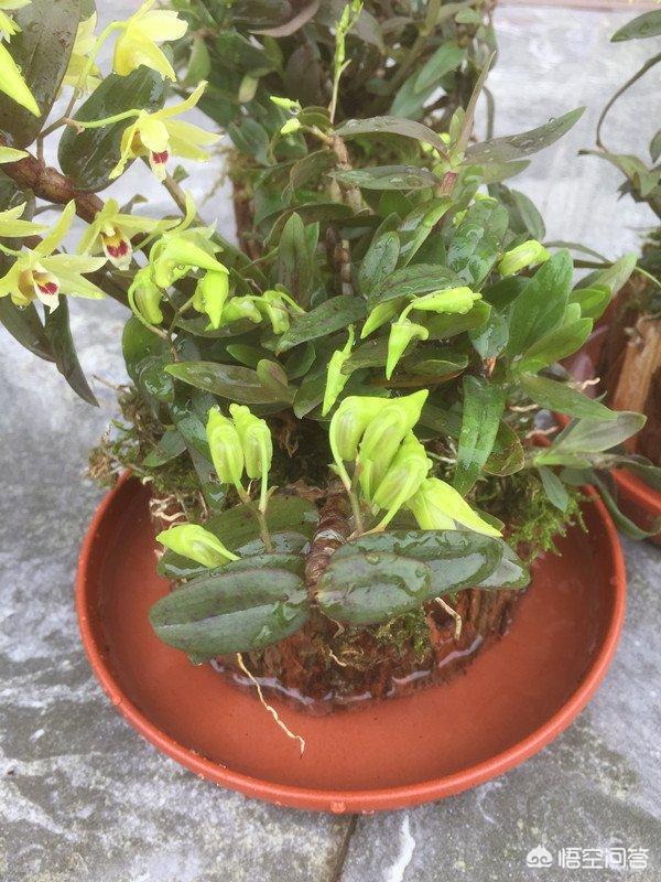 石斛该当如何施肥?施用什么肥本领使其成长健康?