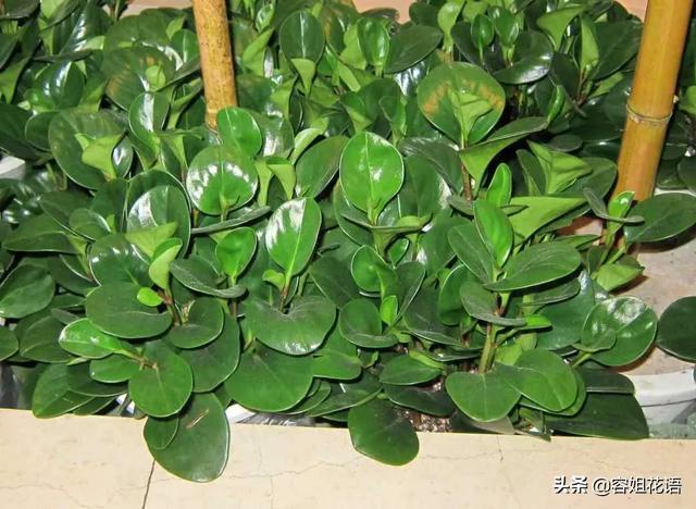 豆瓣绿要还好吗提防烂叶烂根,许多功夫都是不明因为的见叶茎干变黑?
