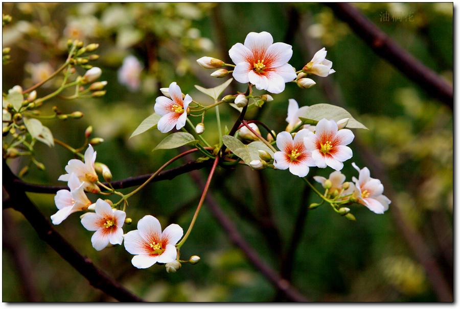 油桐花,油桐花的诗句